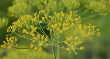 Fennel  - a powerhouse of nutrients